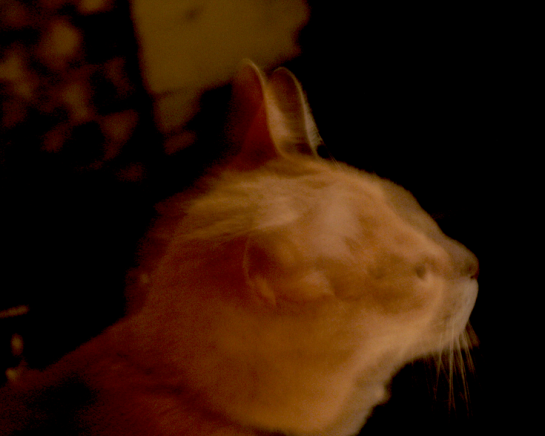 Jackson, a dilute orange tabby, looking to the right